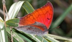 Butterfly, Florida Leafwing