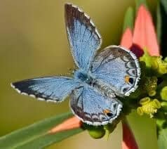Butterfly, Miami Blue