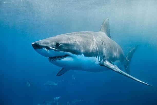 how do sharks help the ecosystem?