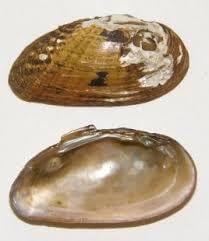 Moccasinshell, Gulf