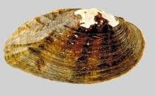 Moccasinshell, Ochlockonee