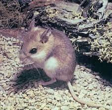 Mouse, Anastasia Island Beach
