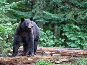 North America Black Bear