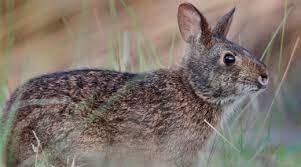 Rabbit, Lower Keys Marsh