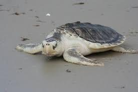 Sea Turtle, Kemp's Ridley