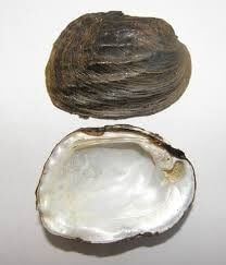 Threeridge, Fat (mussel)