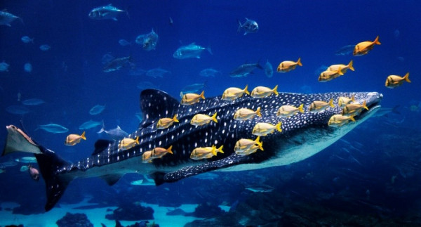 whale shark with small fishes