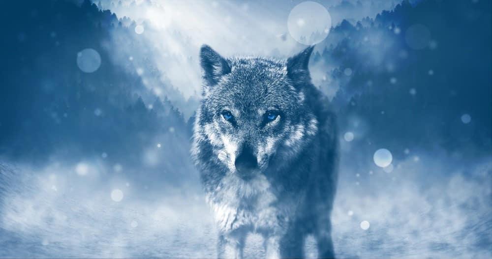 Lone winter wolf