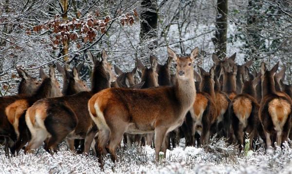 A photo of deers in snow
