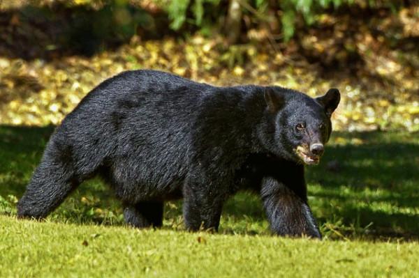 black bear facts