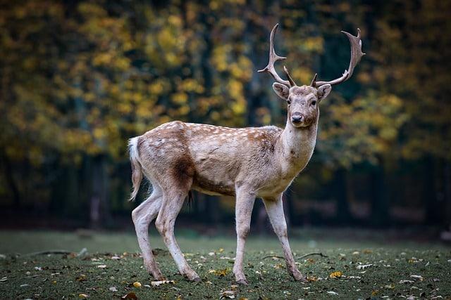 endangered roe deer