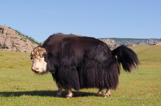 yak - three-letter animals