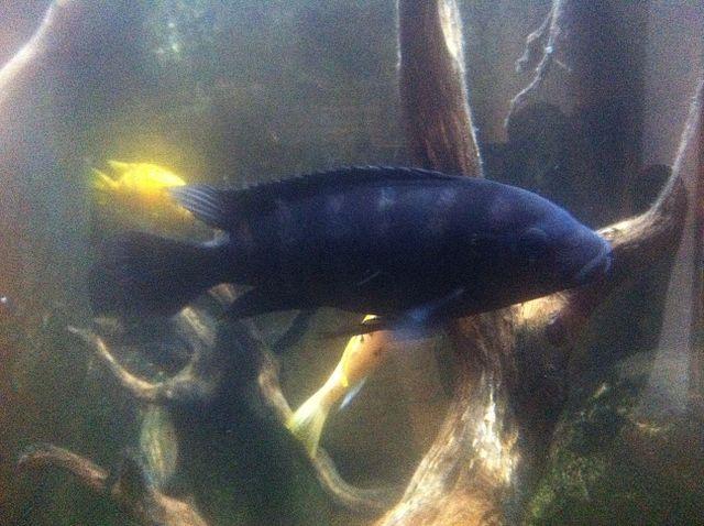Black devil cichlid