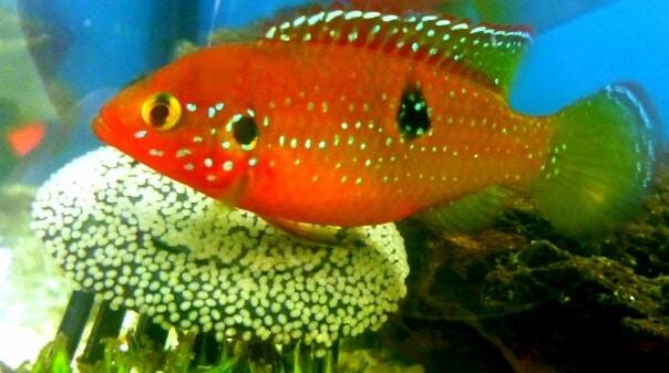 devilfish facts