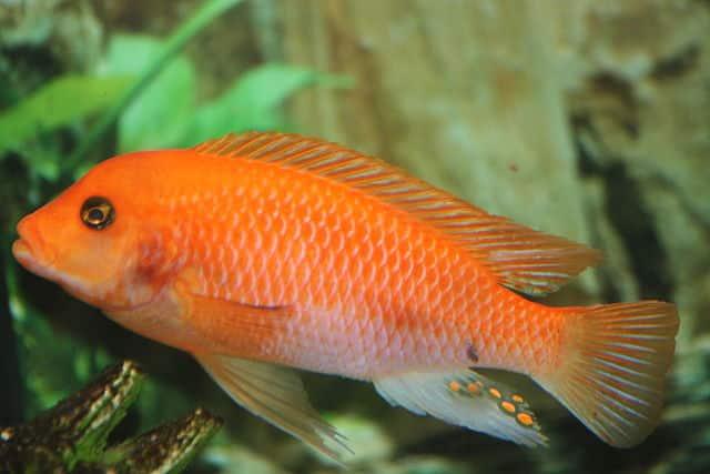 devil fish facts