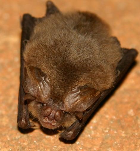 Ozark big-eared bat