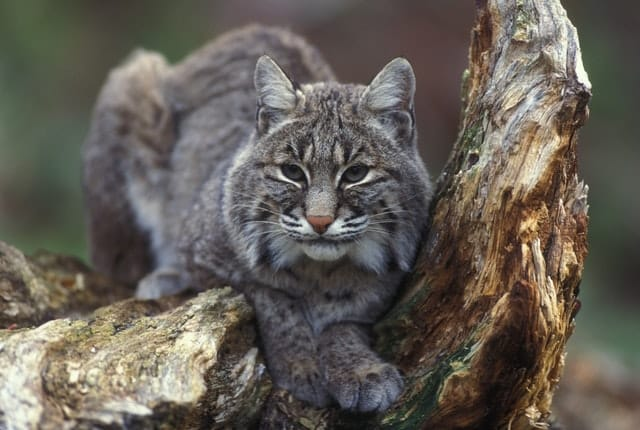 mexican bobcat on a tree trunk