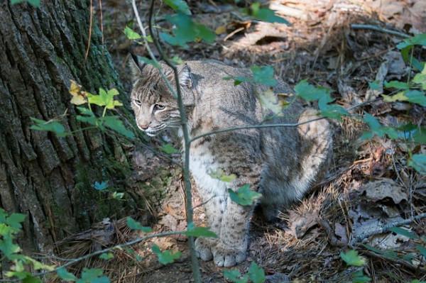 mexican bobcat hunting