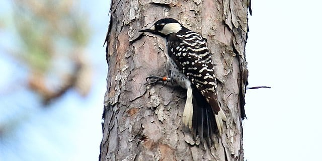 red-cockaded woodpecker- endangered species in oklahoma